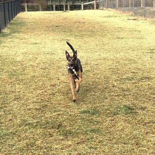 Gerber the dog running towards the camera on a grassy field