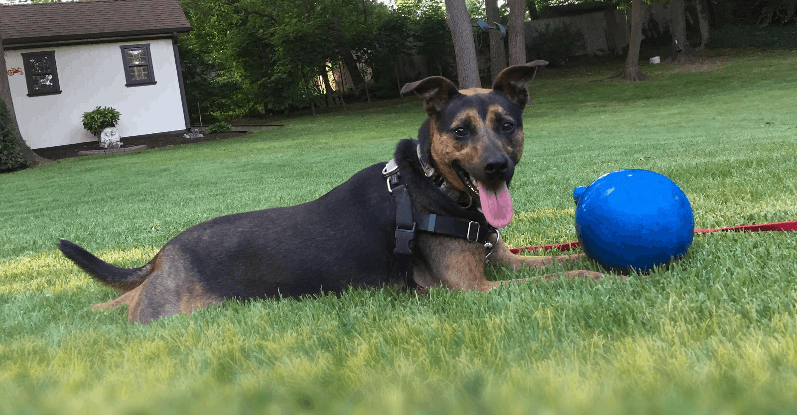 Gerber the dog with a blue ball on a lawn smiling at the camera with tongue out.
