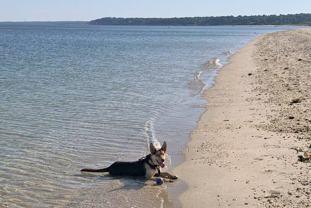 A young adolescent dog playing on a beach