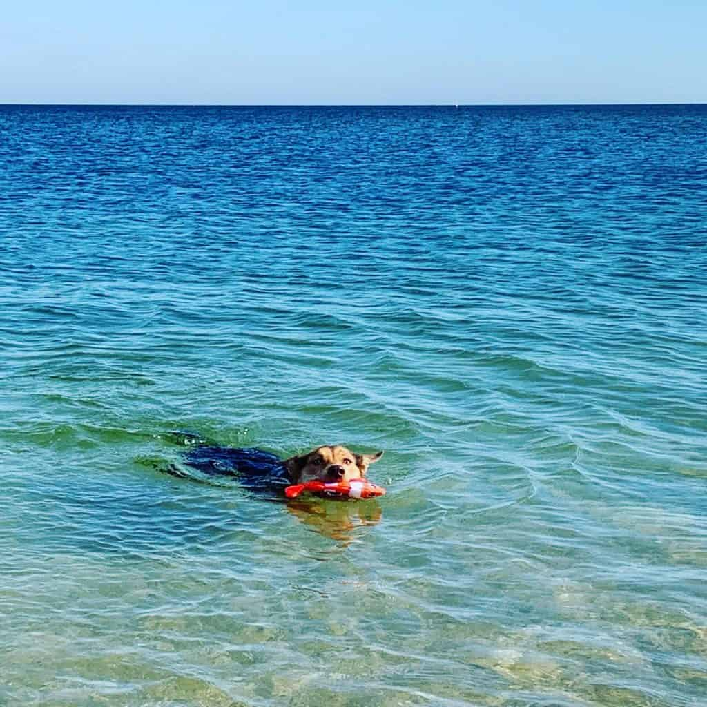An adolescent dog swimming in the water