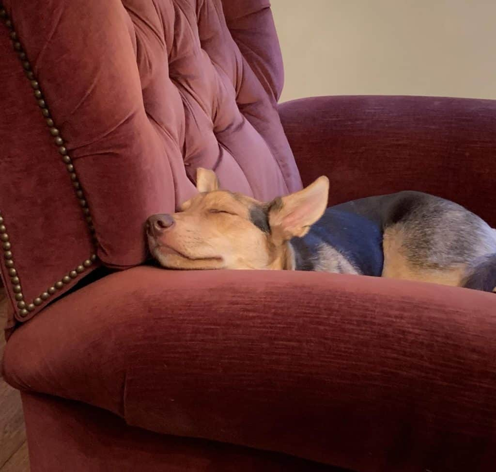 A young dog sleeping in an arm chair