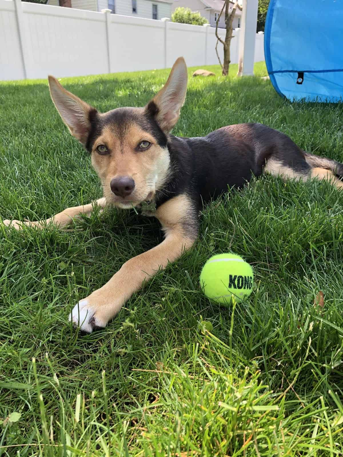 A puppy lays on the grass next to a tennis ball during a training session